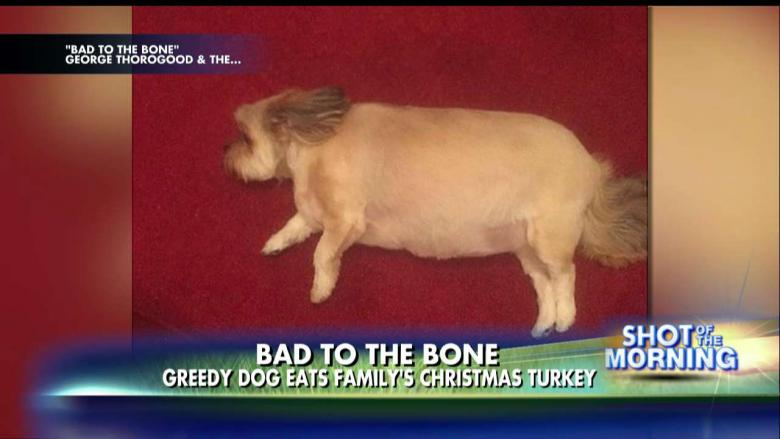 Photo Dog Enters Food Coma After Eating Family S Christmas Dinner